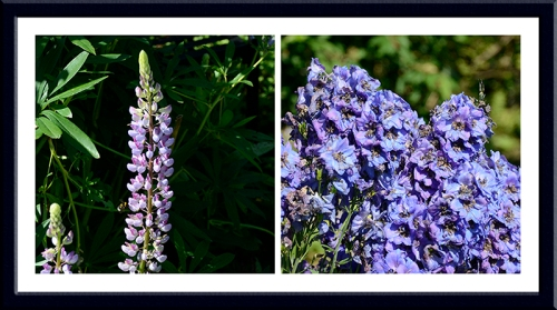 lupin and delphinium