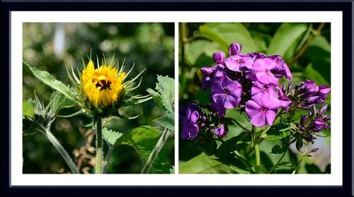 sunflower and purple phlox