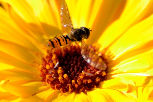 hovering insect and marigold