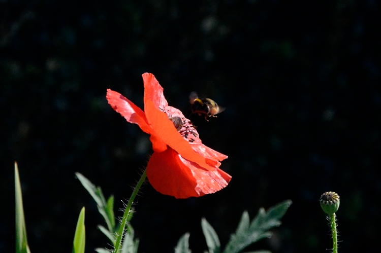 poppy and insect