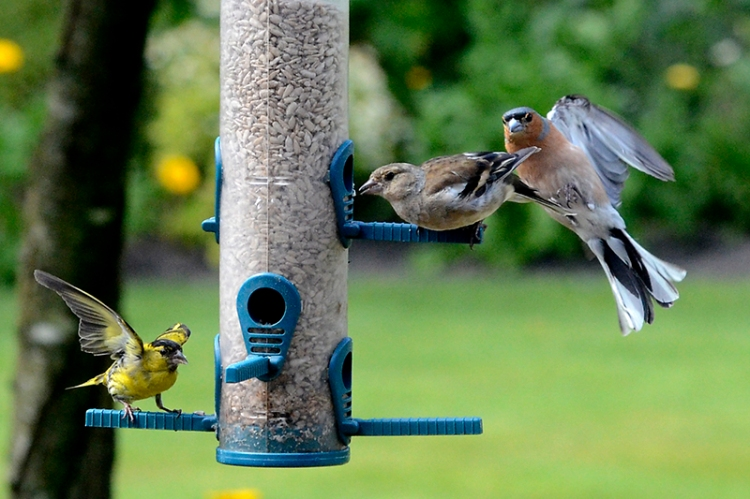 sparrow and siskin