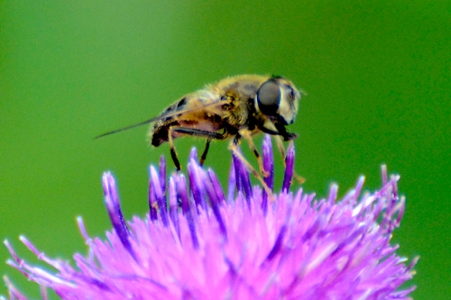 knapweed with insect