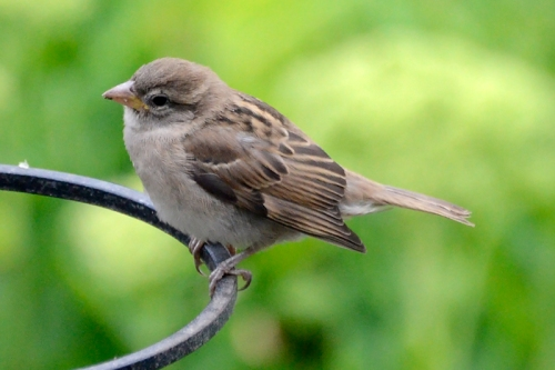young sparrow