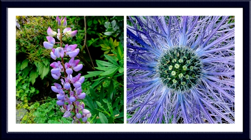 lupin and eryngium