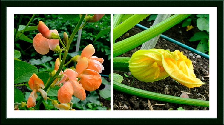 runner bean and courgette