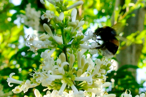 bee on privet
