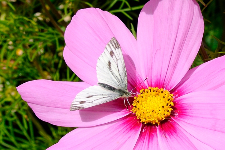 cosmos and butterfly