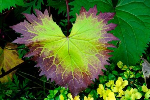 ligularia leaf