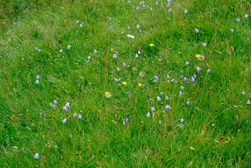 wild flowers at Glencorf burn