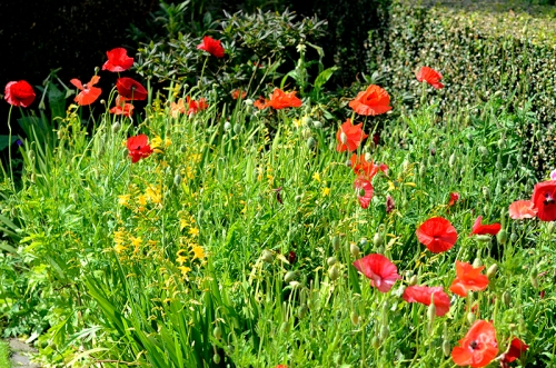 poppies and crocosmia