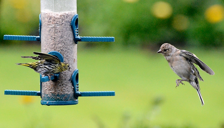 A siskin and chaffinch