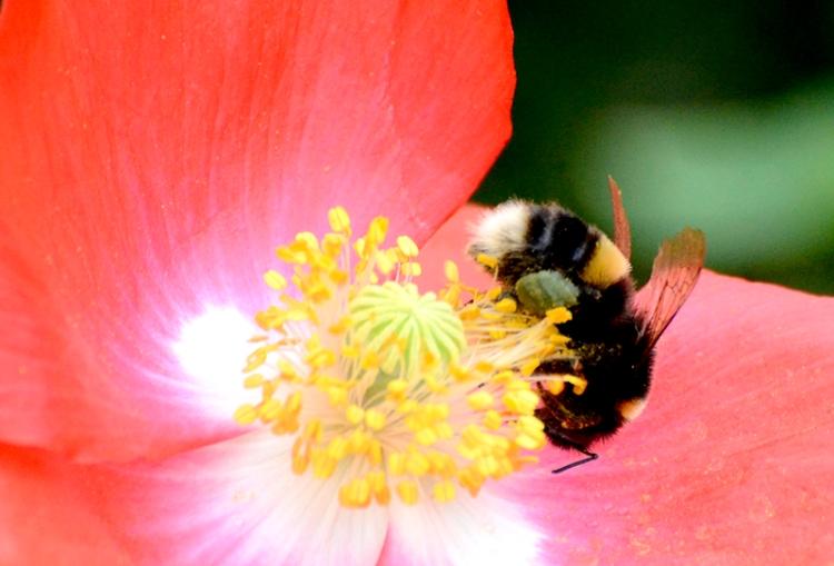bee and poppy
