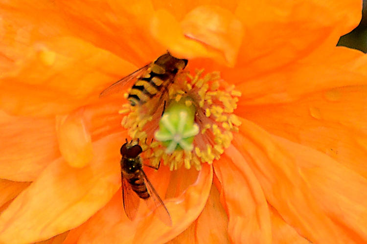 Icelandic poppy with hoverfly