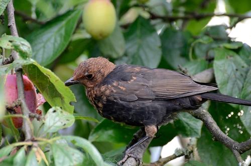 blackbird eating plums