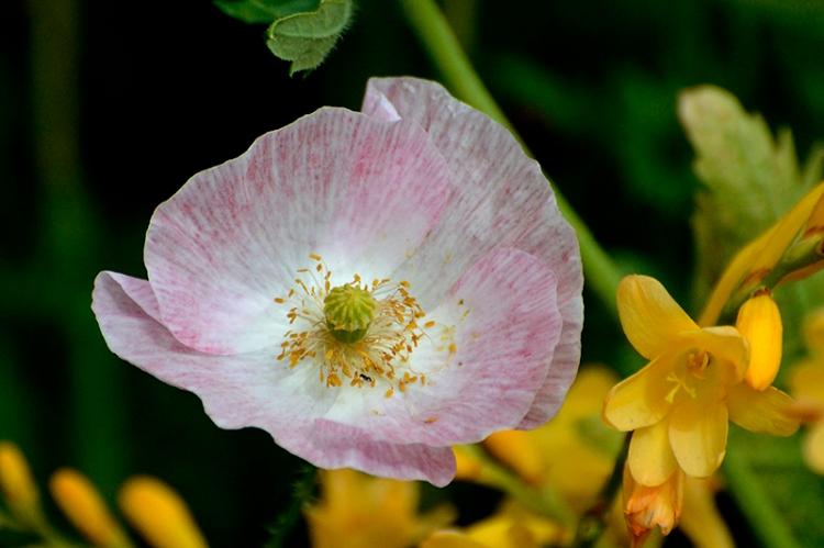 _DSC2036 pale poppy