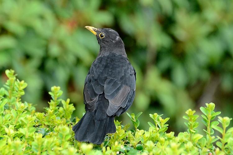 _DSC2038 blackbird