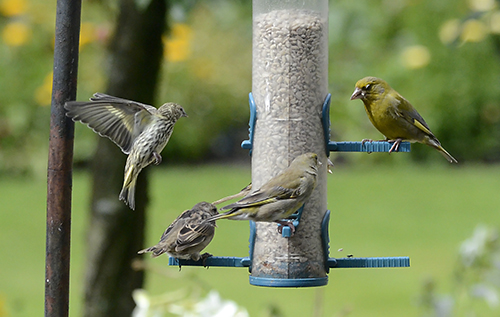 A siskin and two greenfinches find some space.