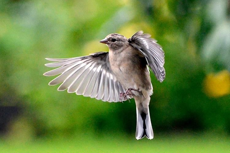 _DSC2061 flying chaffinch
