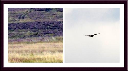 buzzard and harrier