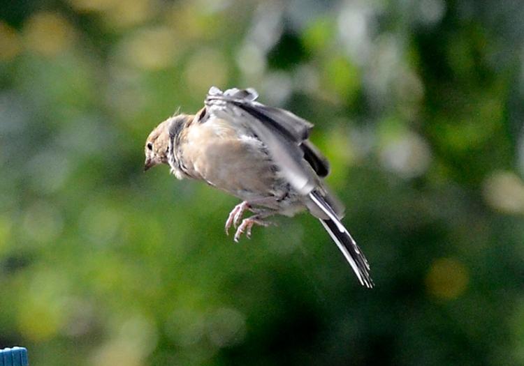 ruffled chaffinch