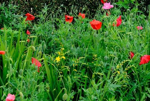 poppies and crocosmia