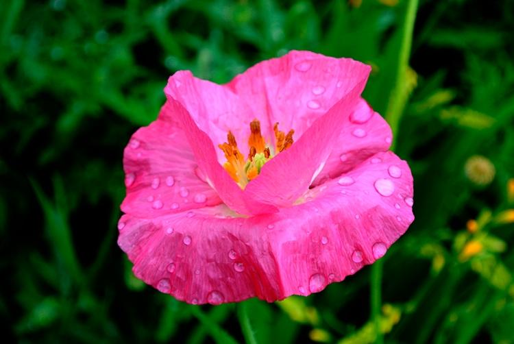 shirley poppy