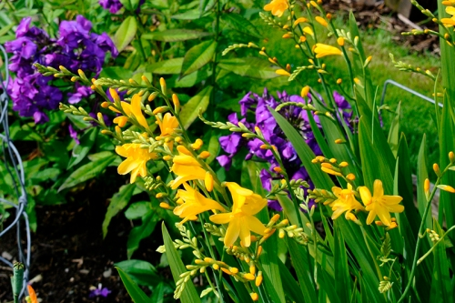 crocosmia and phlox