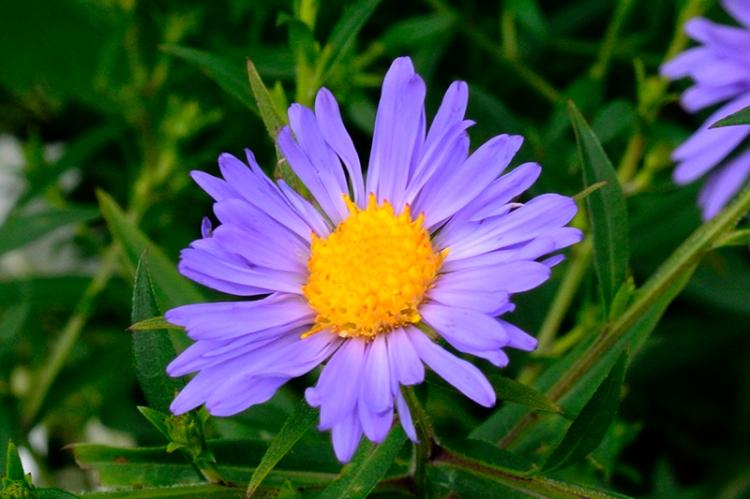 michalemas daisy