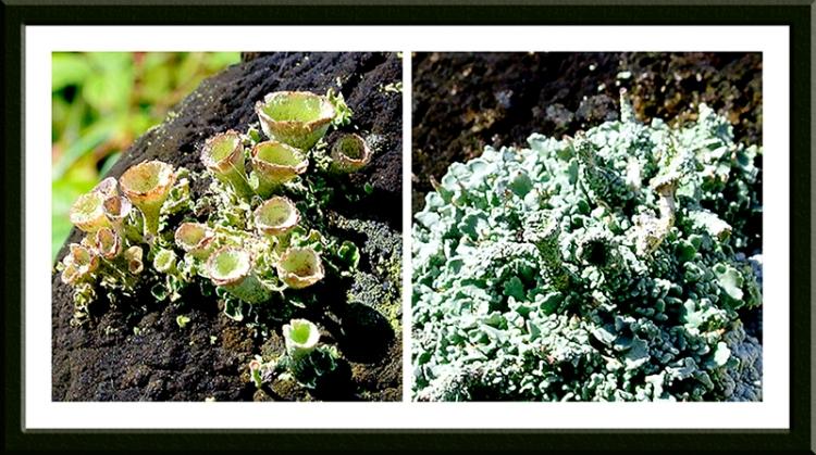 fence post lichens