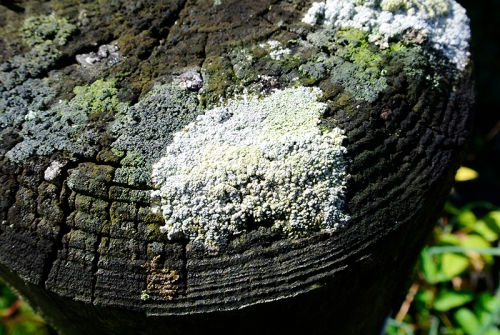 fence post lichen