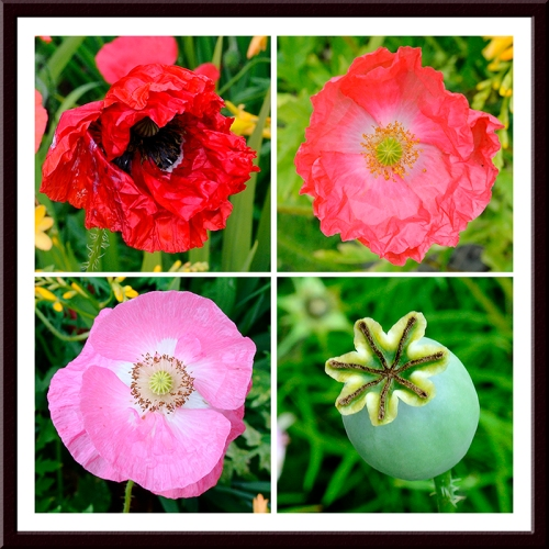 Four ages of a poppies.   The flowers are Shirley poppies and the seed head comes from an opium poppy.