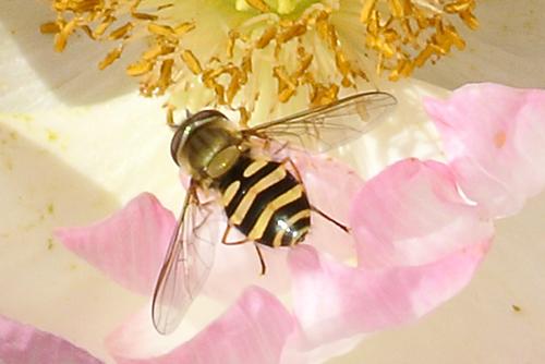 hoverfly on poppy