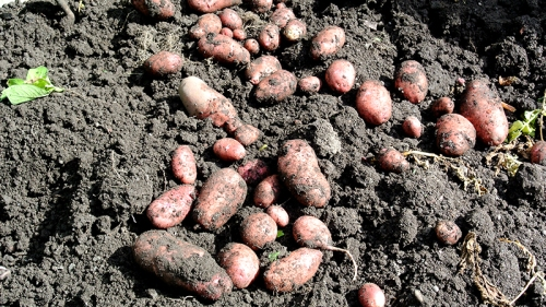 main crop potatoes