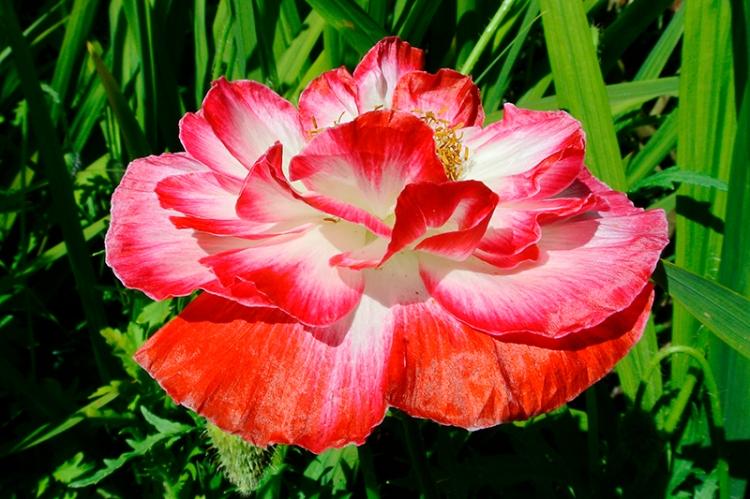 pink shirley poppy (2)