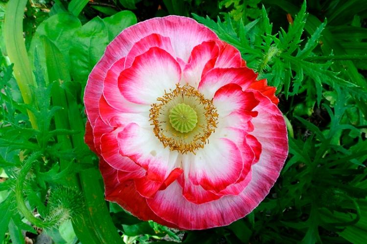 pink shirley poppy