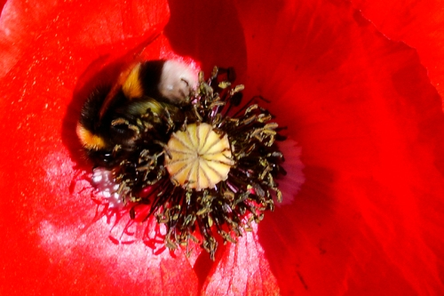 poppy with bumble bee