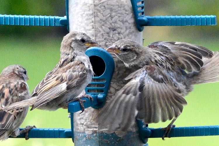 sparring sparrows
