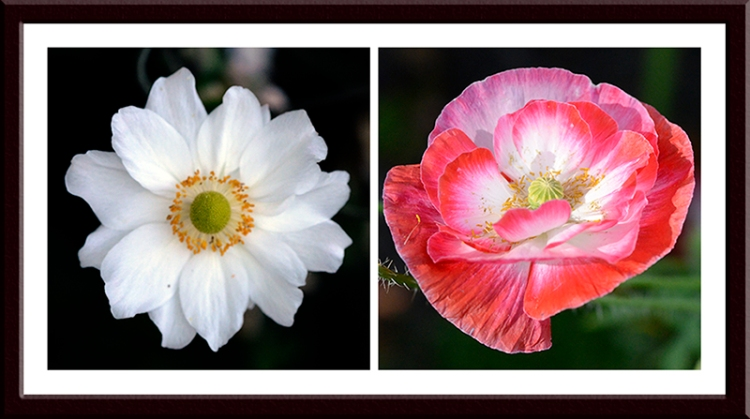A Japanese anemone in the shade and a Shirley poppy  in the weak sunshine.