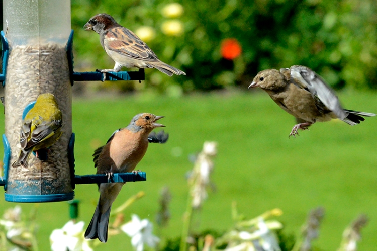 chaffinch welcome