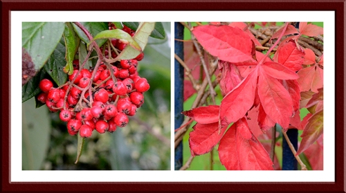 cotoneaster and Virginia creeper