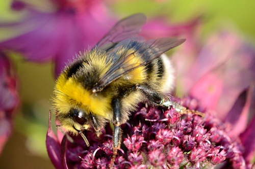 Astrantia with bee