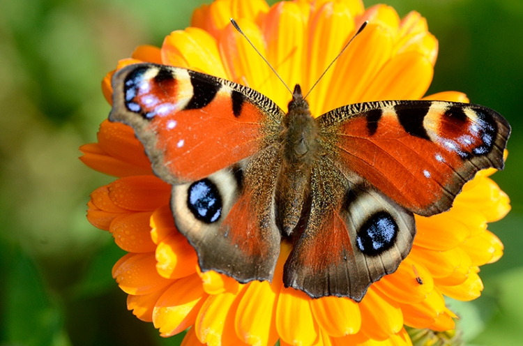 peacock butterfly on marigold