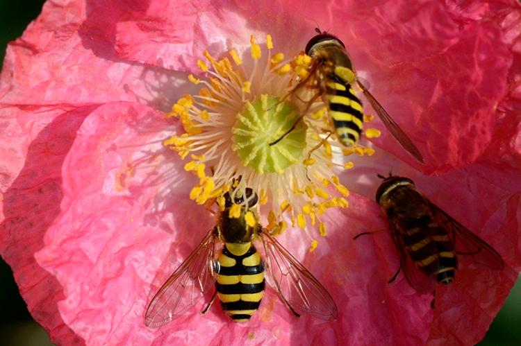 hoverflies on poppies