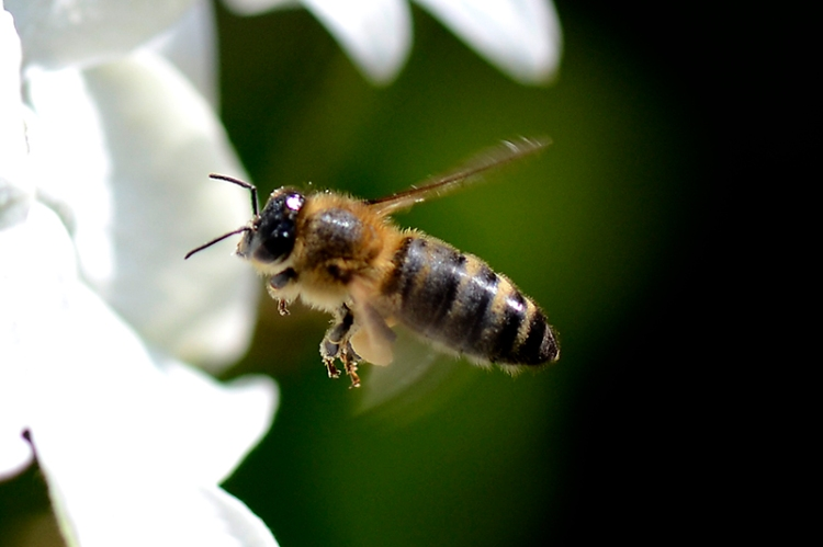 flying hoverfly
