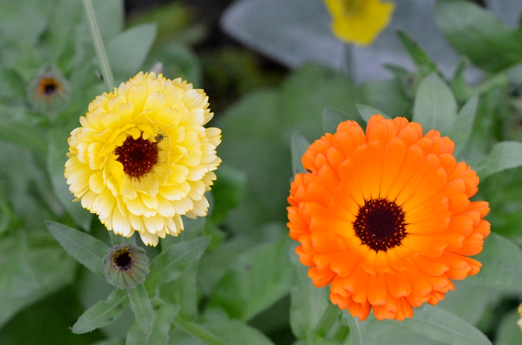 contrasting marigolds