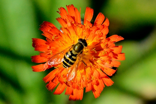 hoverfly on orange hawkweed