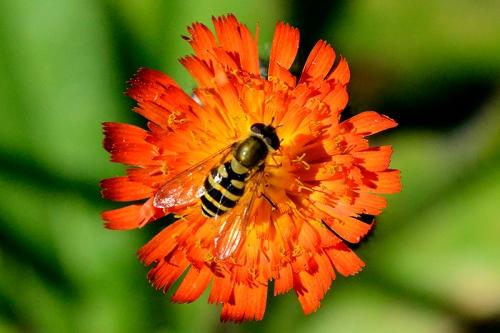 hoverfly on orange hawkweed