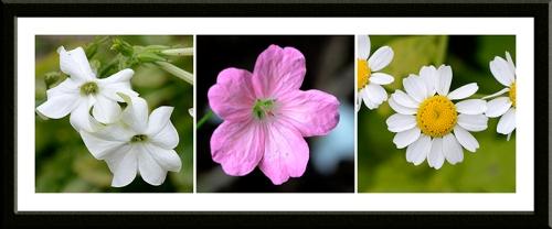 nicotiana, geranium and feverfew
