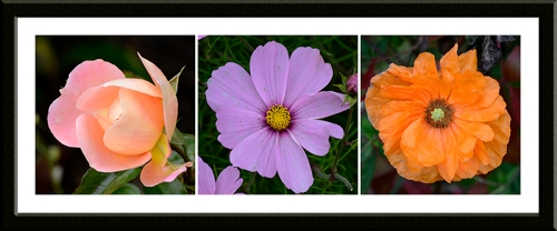 Rose The Wren, a cosmos and an Icelandic poppy