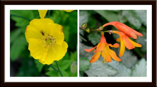 Welsh poppy and crocosmia